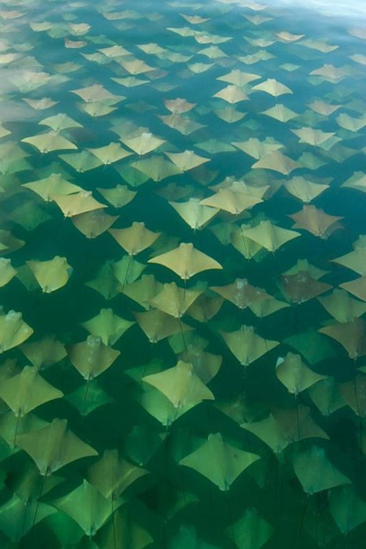 La migration des raies dorées entre la Floride et le Mexique