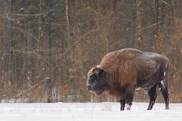bison Bialowieza