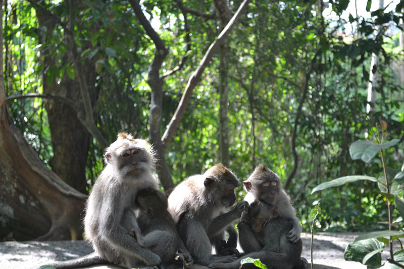 famille singes monkey forest