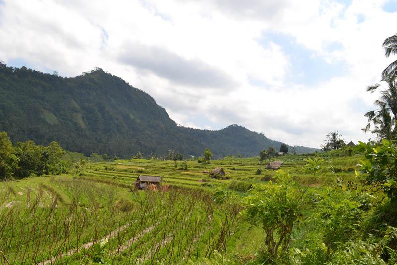 rizière indonésie